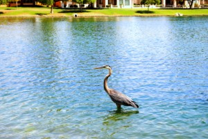 Heron in Lake Margherite of McCormick Ranch