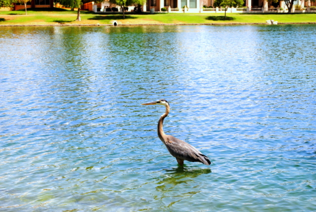 Crane in Lake Margherite of McCormick Ranch